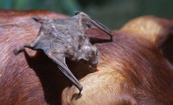 Casos de raiva em morcegos aumentam acima da média no Rio Grande do Norte