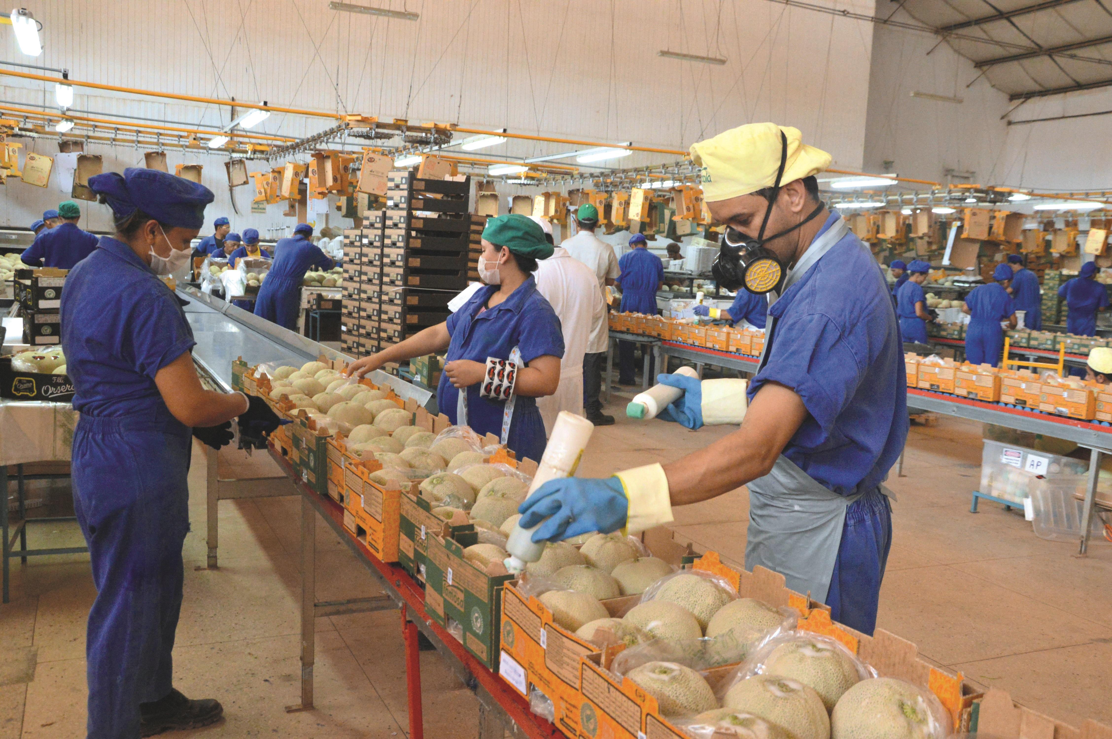 Embalagem de Melões na Fazenda Famosa Mossoró 45