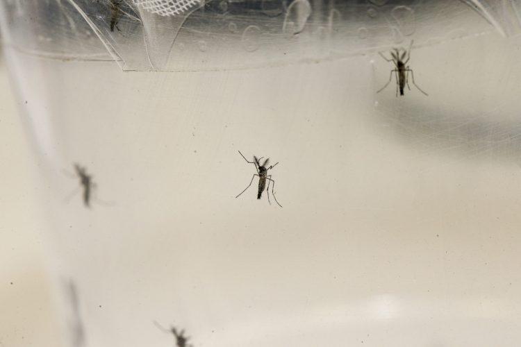 Dengue aedes. Foto: Marcos Santos/USP Imagens