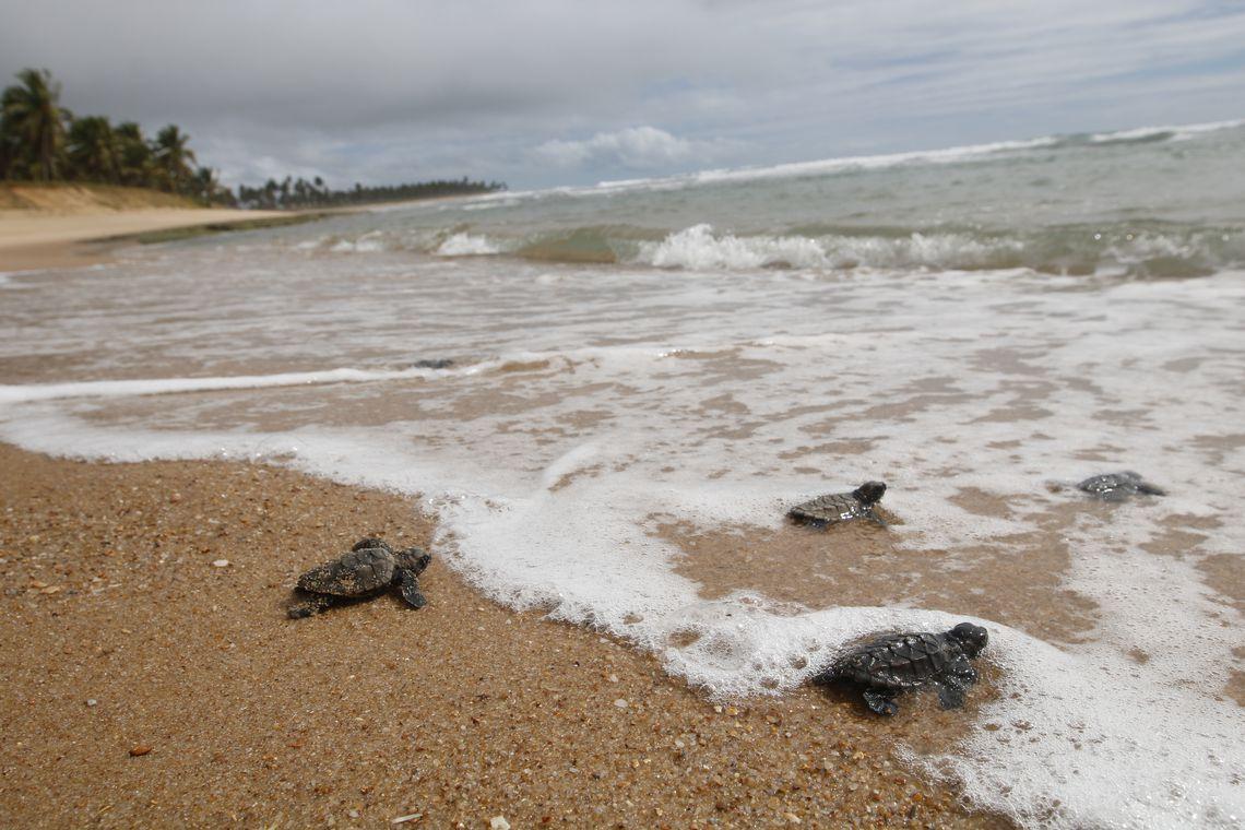 praia do forte soltura de tartarugas20191214 abr 2121
