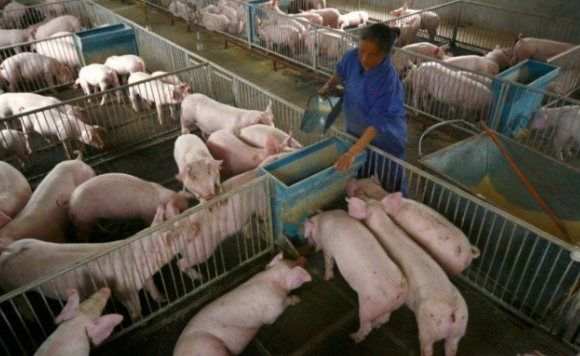 porcos reuters