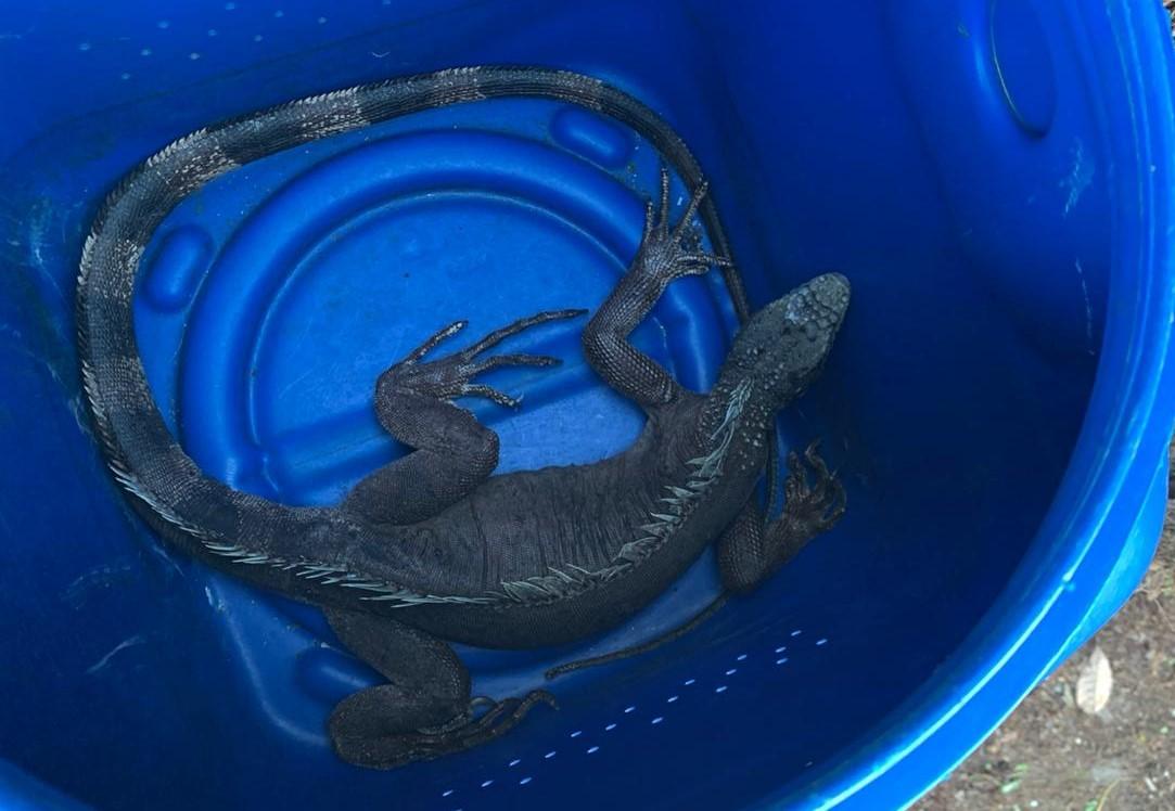 GMN resgate de iguana 2