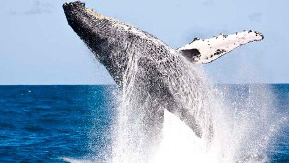 baleia jubarte 1 divulgacao projeto baleia funarte