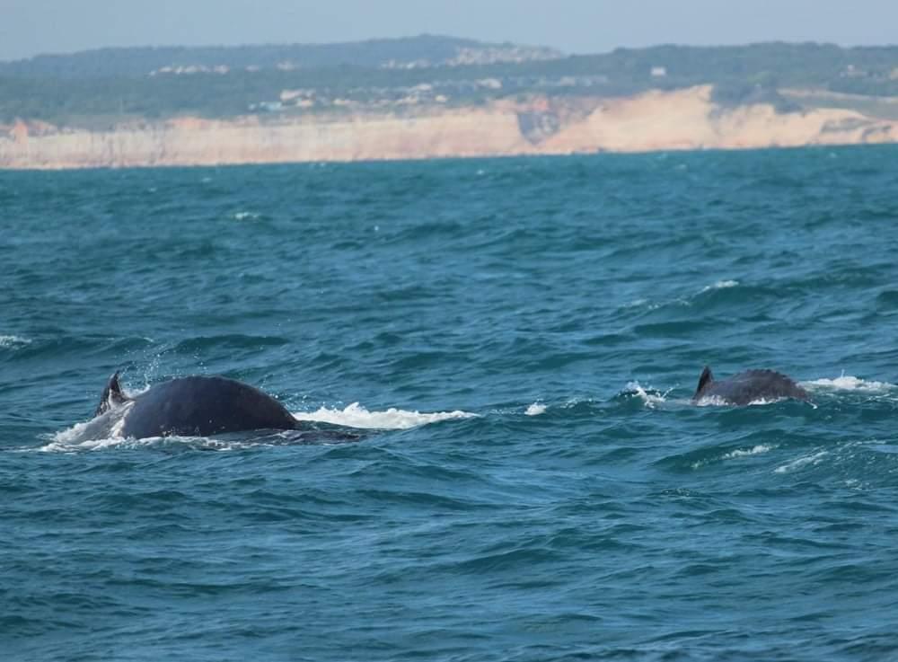 Baleias jubarte no litoral Sul do Rio Grande do Norte
