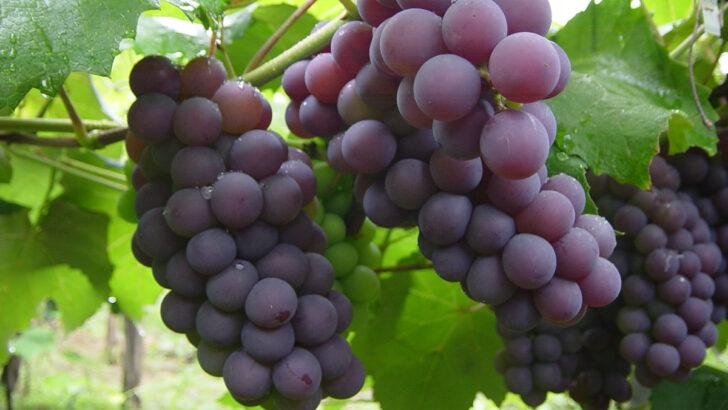 O potencial da uva na terra do melão: a força da fruticultura potiguar