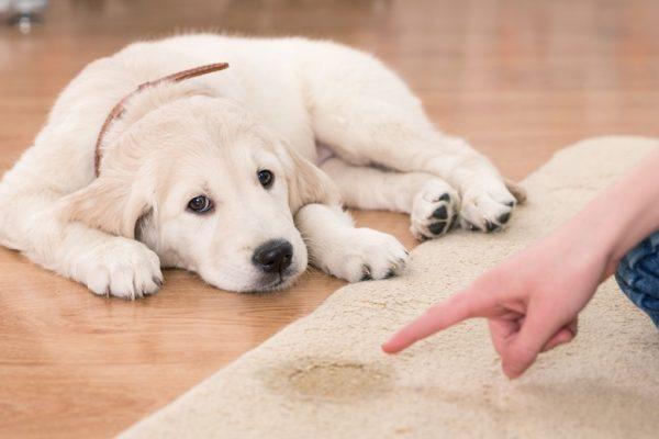 Saiba como ensinar o seu pet a fazer as necessidades no lugar certo