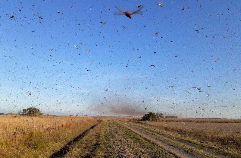 Nuvens de gafanhotos atacam mais de 100 fazendas na África do sul