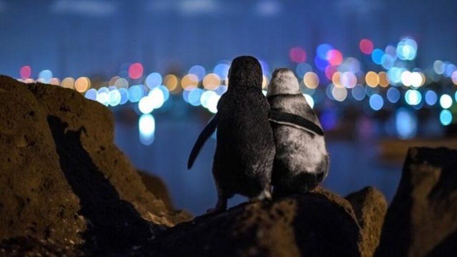 A premiada foto de pinguins viúvos que parecem se confortar sob as luzes da cidade