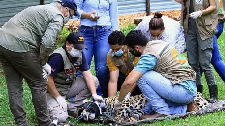 Operação devolverá à natureza onça pintada que sobreviveu a incêndio no pantanal
