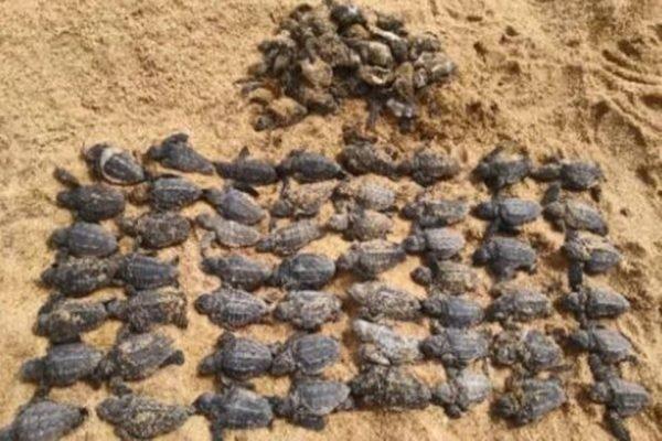 Quase 90 filhotes de tartaruga são mortos após carros atropelarem ninho