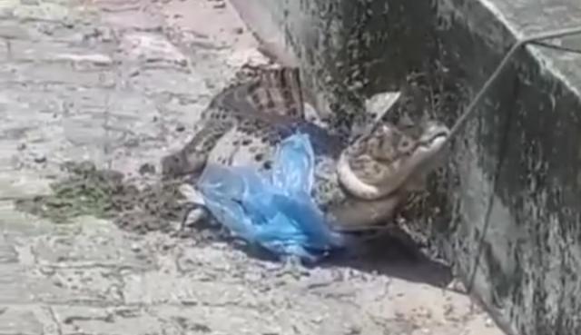 Jacaré é capturado em bairro da zona norte de natal; veja vÍdeo