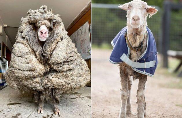 Ovelha perde 35 quilos de lã após primeira tosa em cinco anos; veja vídeo