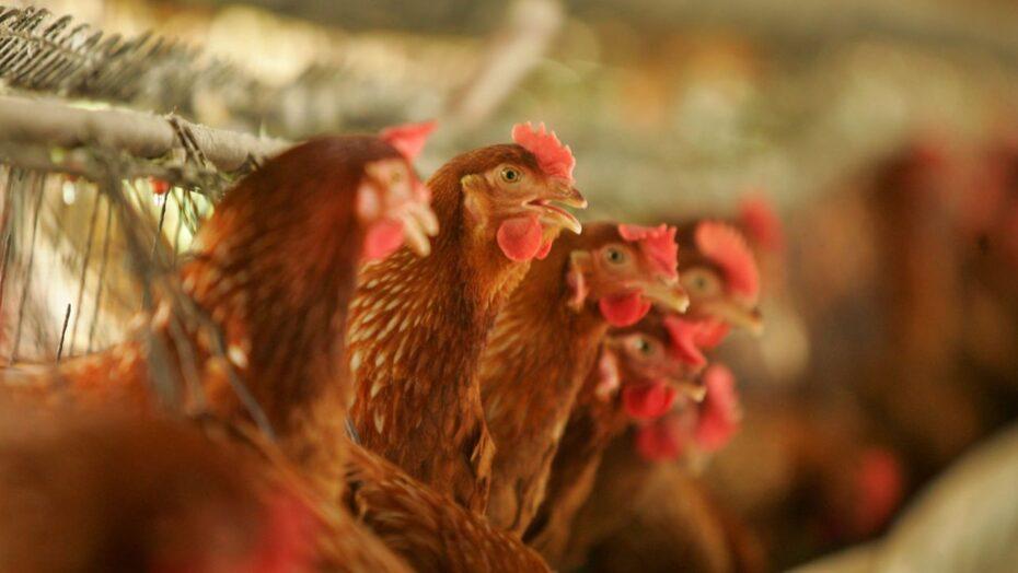 Rússia identifica primeiros casos da cepa h5n8 de gripe aviária em sete pessoas