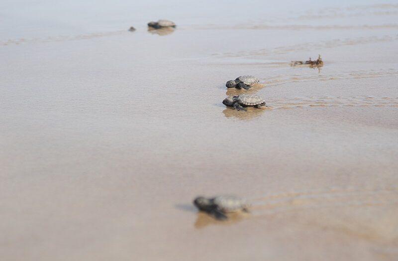 Quase 100 filhotes de tartarugas-de-pente são soltos na costa do rn