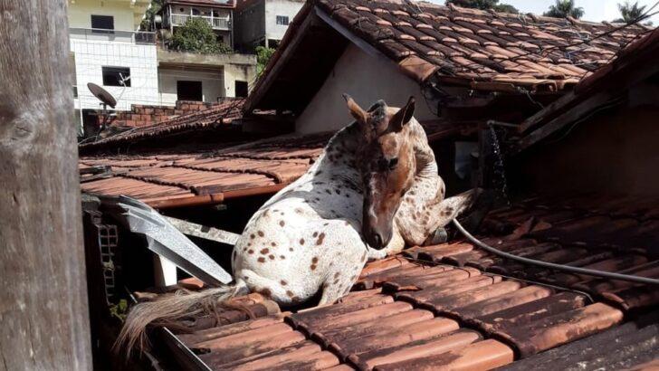 Cavalo cai no telhado da prefeitura de aricanduva e parte da estrutura é danificada