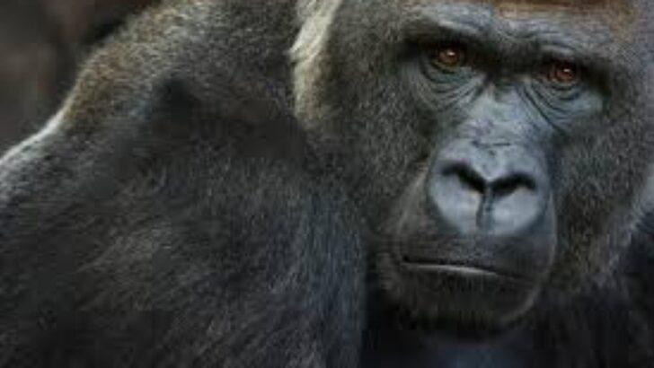 Gorila perde apetite e leões tossem após testarem positivo para covid-19