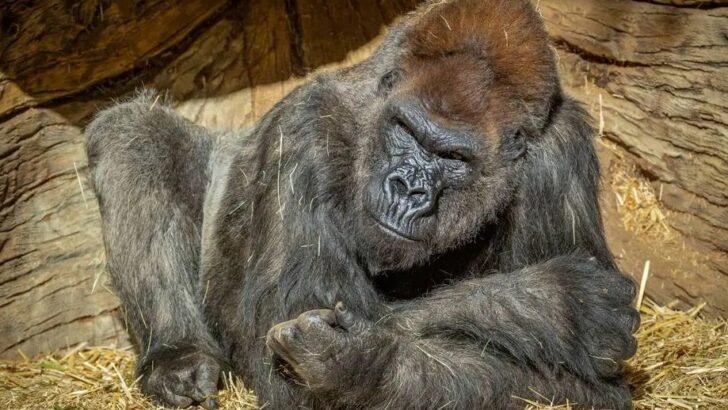 Até gorilas já tomam vacina contra covid-19 em zoológico dos eua