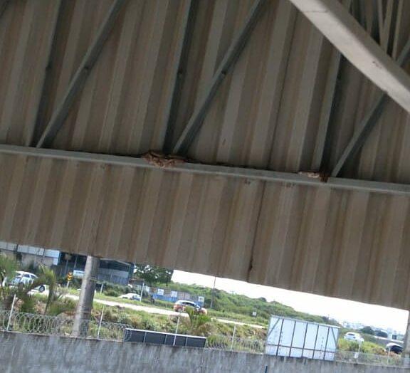 Jiboia de quase 2 metros invade fábrica na grande natal e assusta trabalhadores; veja