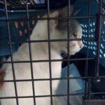 Polícia apreende gato usado para transportar drogas para presídio no panamá