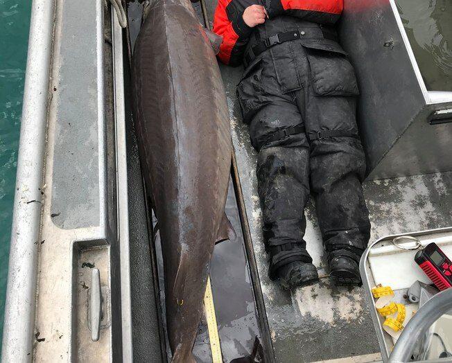 100 anos, 2 metros e quase 110kg: o 'monstro' capturado por pescadores nos eua