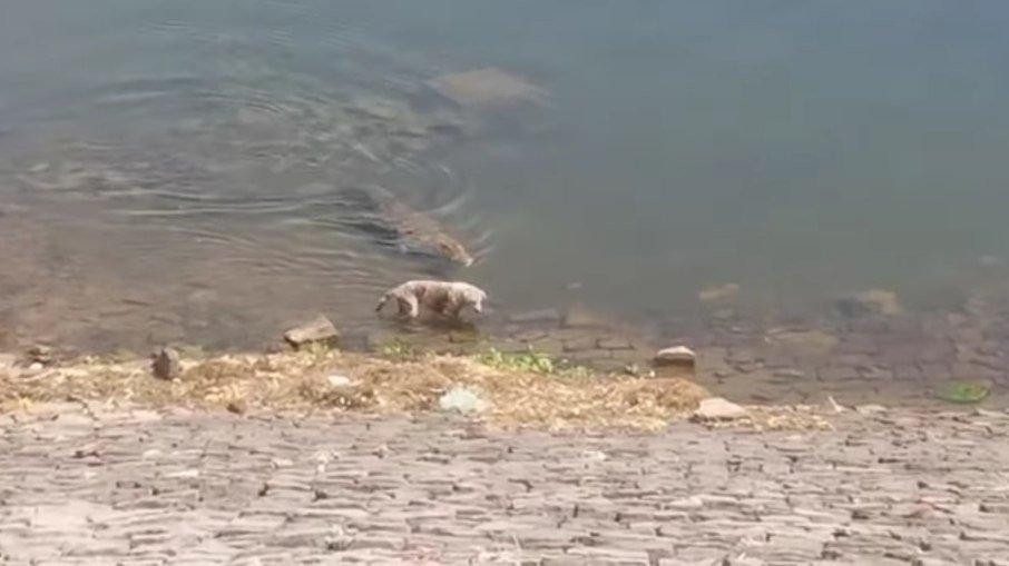 Cenas fortes: crocodilo devora cachorro às margens de rio na Índia; assista