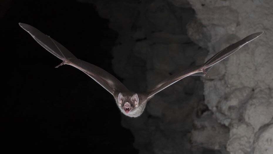 Maior estudo evolutivo de coronavírus confirma origem do sars-cov-2 de morcegos para humanos