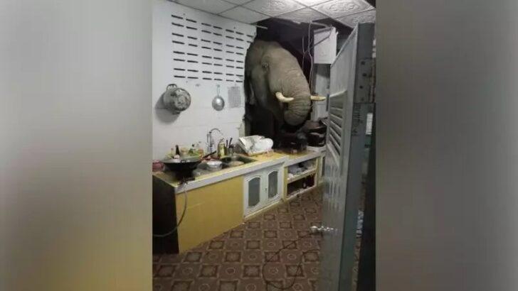 Mulher se desespera após elefante faminto derrubar a casa dela em busca de comida