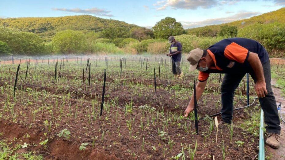 Produção de alhos nobres ganha impulso na região serrana do alto oeste potiguar
