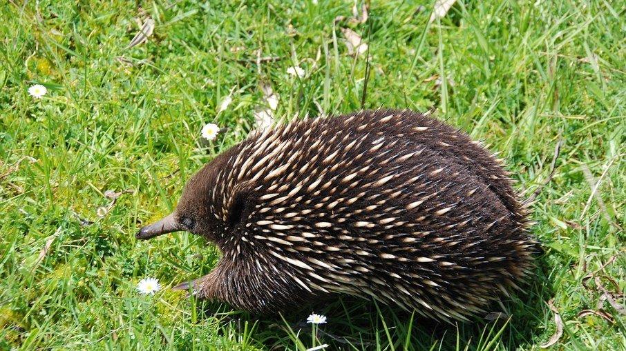 Animal australiano com pênis de quatro pontas intriga cientistas; veja foto