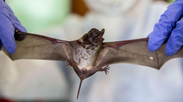 Polêmica sobre origem da covid esquenta após imagens de morcegos no que seria laboratório de wuhan;