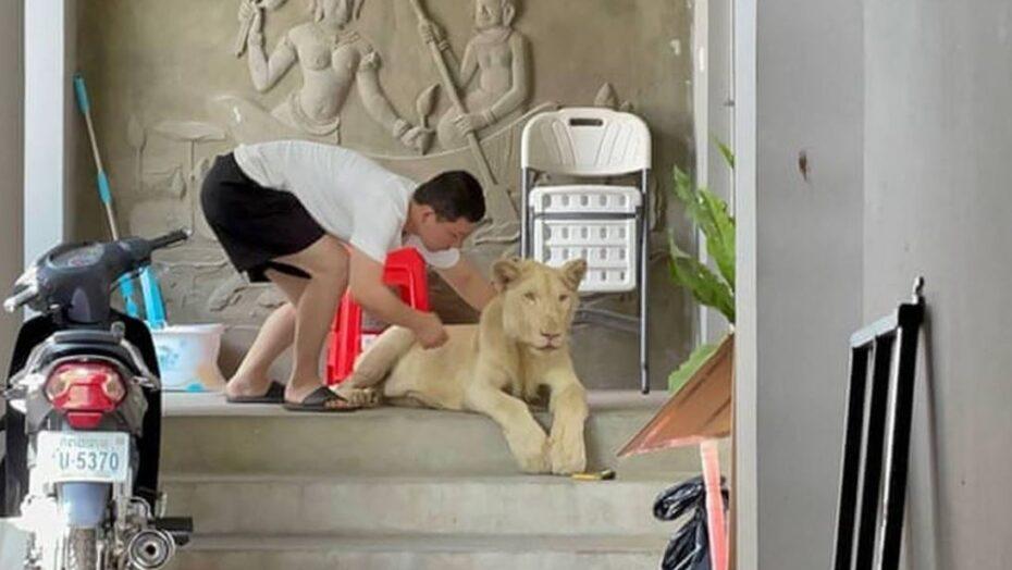 Leão de estimação é apreendido após aparecer em vídeo no tiktok