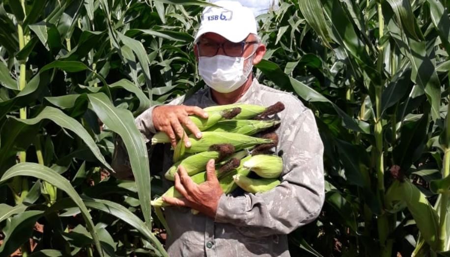 Produção de milho verde garante renda para a agricultura familiar no rn