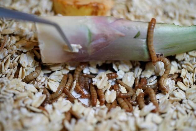 Restaurante lança menu sofisticado com insetos e larvas
