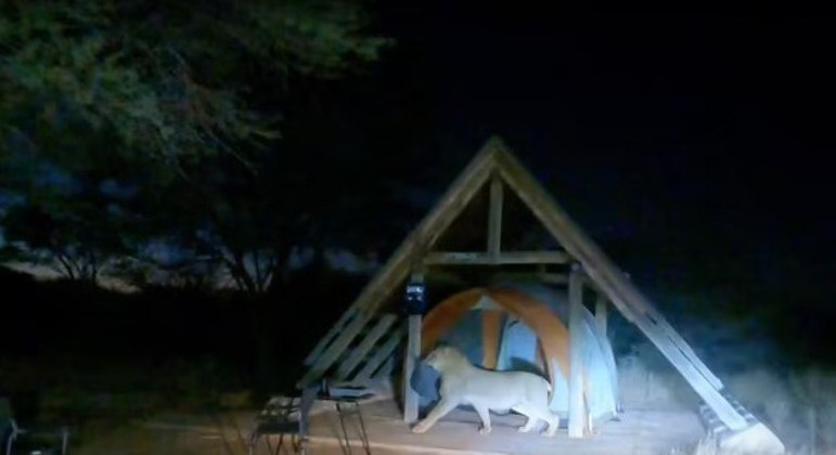 leao invasor barraca parque botsuana