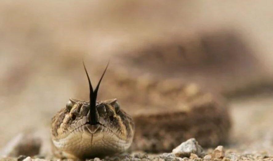 Ter covid grave é semelhante a levar picada de cobra cascavel, aponta estudo