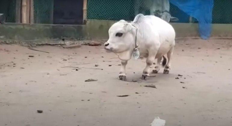 Menor vaca do mundo morre antes de recorde oficial ser registrado; saiba o tamanho dela