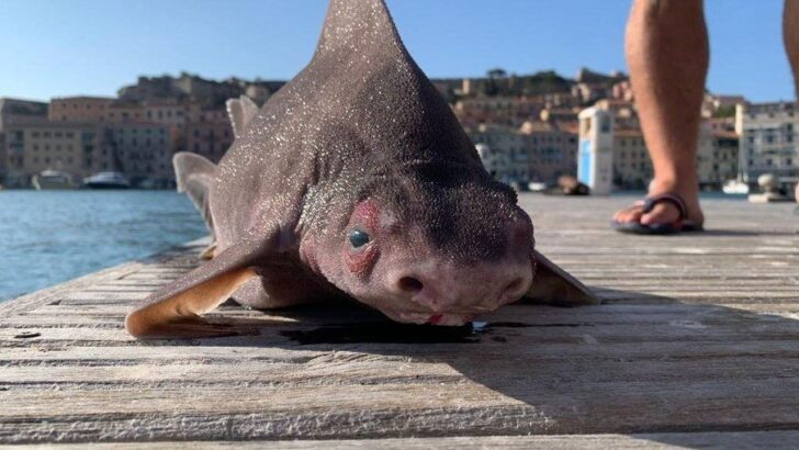 Tubarão com 'cara de porco' é encontrado morto