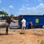 Secretaria de agricultura de macaíba faz parceria com prf para trabalho de captura de animais soltos nas ruas
