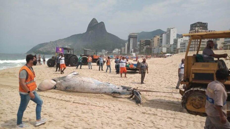 Baleia é encontrada morta na praia do leblon, no rio
