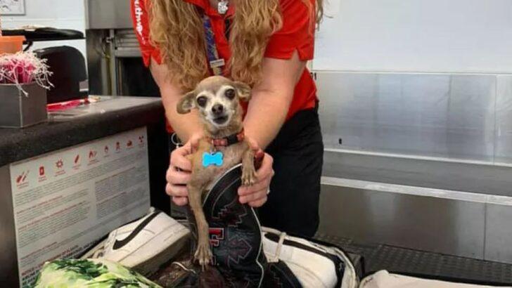 """Alertado sobre excesso de bagagem, casal descobre chihuahua """"clandestina"""" em mala"""